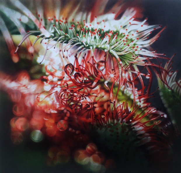 pettine-della-strega-2012-chiara-albertoni-olio-su-tela-drosera-spatulata