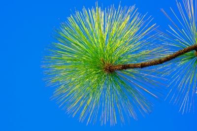 Pines 43784